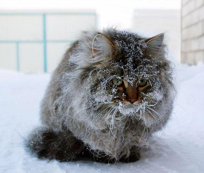 Демотиватор замерзший кот