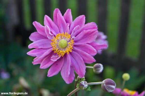 die besten 25 japanische anemone ideen auf pinterest sch ne blumen anemoneblume und sch ne. Black Bedroom Furniture Sets. Home Design Ideas