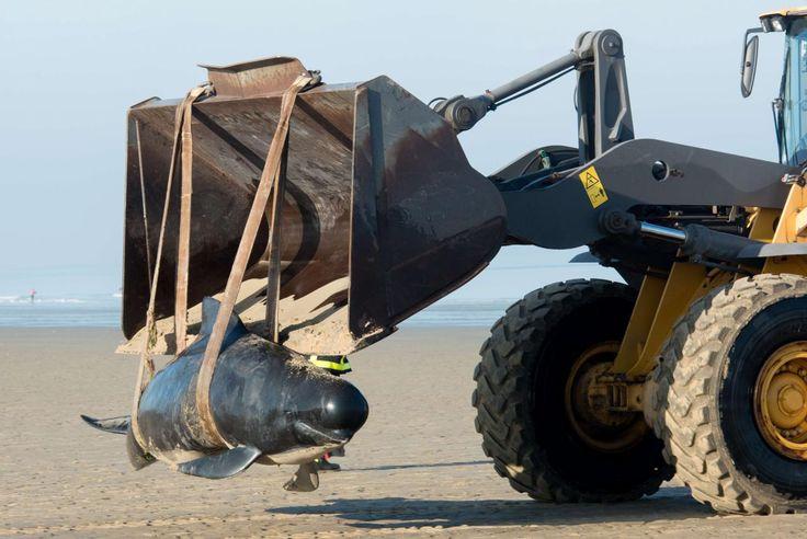 02.11 Un troupeau de dix baleines s'est échoué sur la plage de Calais. Six mammifères, dont un mâle dominant de 4m50 de long et une femelle de grande taille, ont été retrouvés morts. Deux femelles et deux baleineaux étaient encore en vie. Ils ont été secourus par les pompiers.Photo: AFP/Denis Charlet