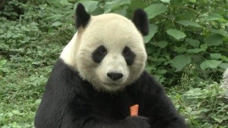 A man jumped a fence at the Nanchang Zoo in China for a far from friendly encounter with a panda