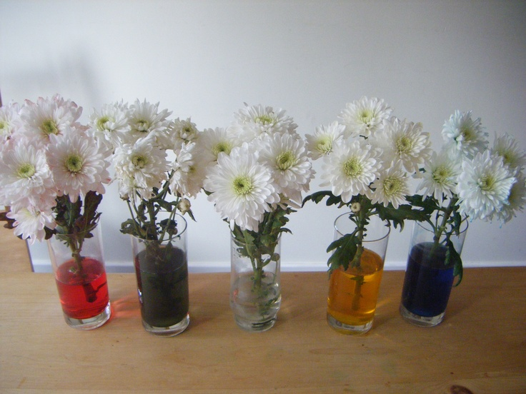 Dying Carnations in food colouring - great experiment to show how water travels through plants.