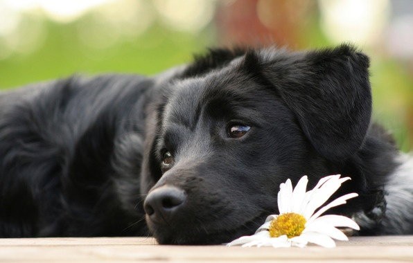dog: Labrador Retriever, Puppies Faces, Dogs Training, Black Dogs, Big Eye, Labs Puppies, Flower, Black Labs, Animal