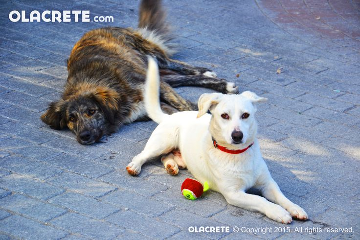 Dogs relaxing - Chersonissos