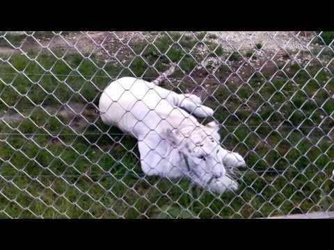 ▶ Stripeless white tiger | The most beautiful creature ever | White tiger facts - YouTube