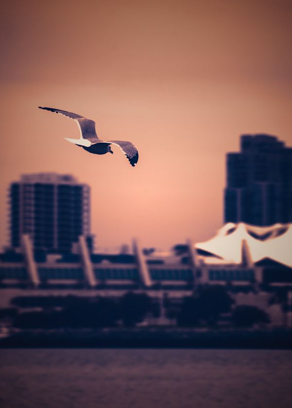 Gull over Coronado Bay in San Diego. You can see the SD Convention center in the background.