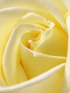 .A beautiful yellow rose.