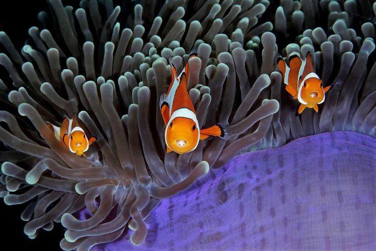 Νικητής, κατηγορία «Συμπεριφορά». «Το σπίτι μου και το σπίτι σου». «Τα ψάρια - κλόουν και οι θαλάσσιες ανεμώνες απολαμβάνουν μια συμβιωτική σχέση. Ινδονησία Qing Lin / UPY 2017