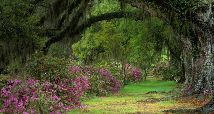 Stately live oaks in Magnolia Plantation and Gardens ...