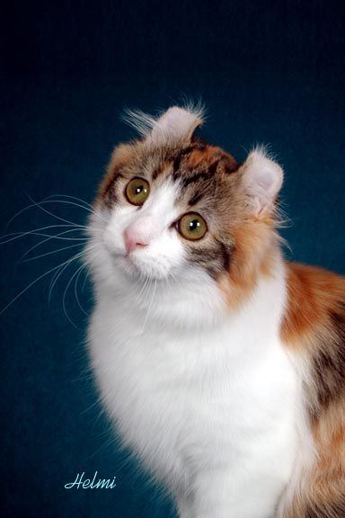 American Curl Russia 124 best images...