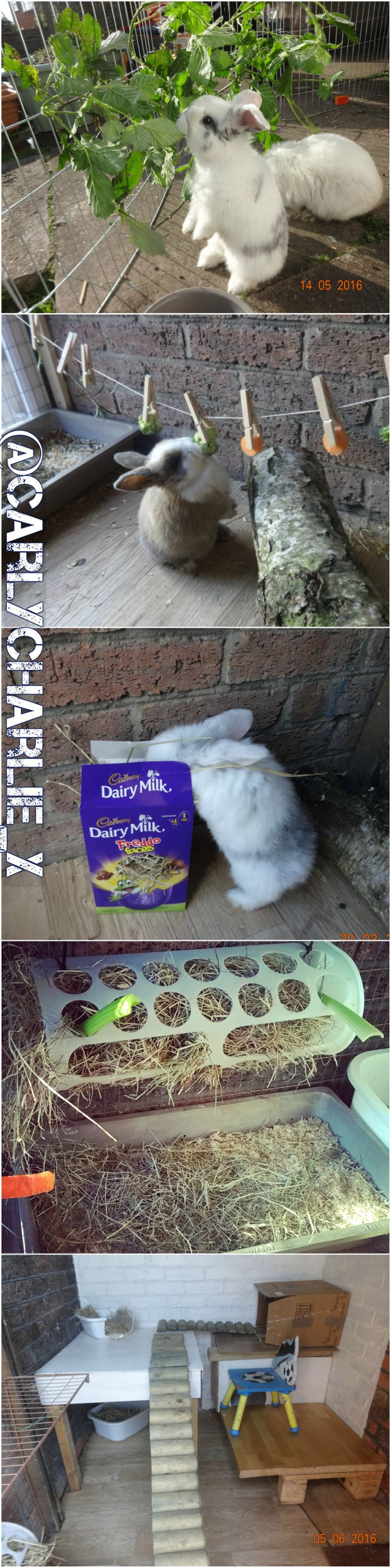 Here are my Mini Lop Bunnies and how I keep them occupied. Ensuring your bunnies are occupied and have a lot of stimulation ensures their wellbeing ensuring that your beloved bun is free from unwanted behaviours. New ideas added regularly. Bunnies June 2016.jpg