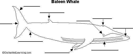baleen whale anatomy diagram to label