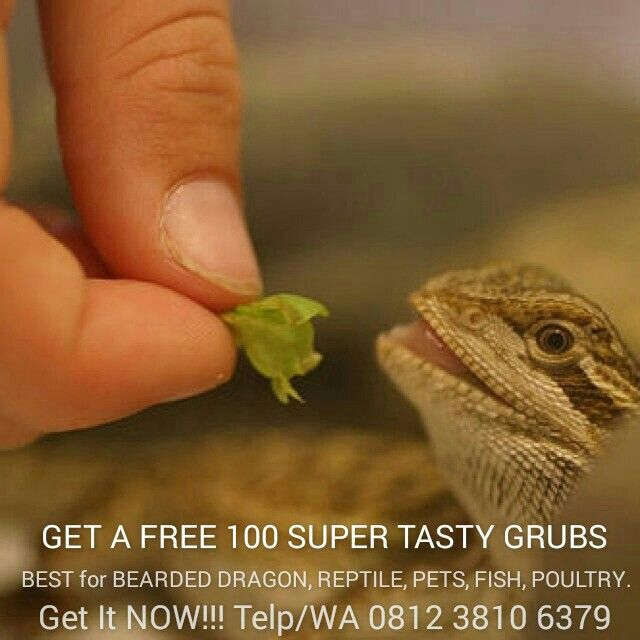 Get a FREE SAMPLE 100 SUPER TASTY LIVE GRUBS, Best for BEARDED DRAGON --Call/WA 0812 3810 6379-- (Grubs) Maggot Black Soldier Fly as Recyclers of Waste and Possible Livestock Feed, If Black Soldier Fly Larvae could enter competitive eating contests, they would excel, especially when it comes to eating nasty stuff that we don't want around or wouldn't think of eating ourselves. Then, after the larvae had eaten, they could be recycled as feed for livestock.