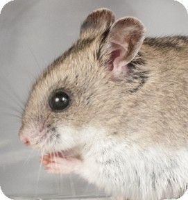 Chicago, IL - Hamster. Meet Hamilton, a pet for adoption. http://www.adoptapet.com/pet/11413650-chicago-illinois-hamster