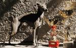 italian greyhound photo video
