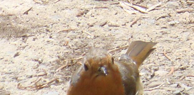 Grumpy looking Robin in my garden.  Picture taken by Abbey Kaos.