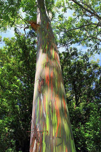 「レインボーユーカリ」こちらは北半球で自生する高木樹のカラフルな珍しいユーカリ。樹皮が毎年めくれ、その中から明るい黄緑色の新しい樹皮が現れ、それもまた時間が経つごとに黄緑から青、青から紫、その後オレンジから栗色へとどんどん変化を遂げます。そのため木によって全く色合いが異なります。