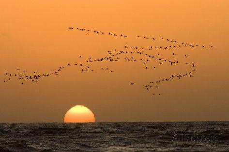 Flamingo Flock in Flight at Sunset over the Atlantic Fotoprint
