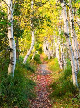 Birch trees, Acadia National Park, Maine