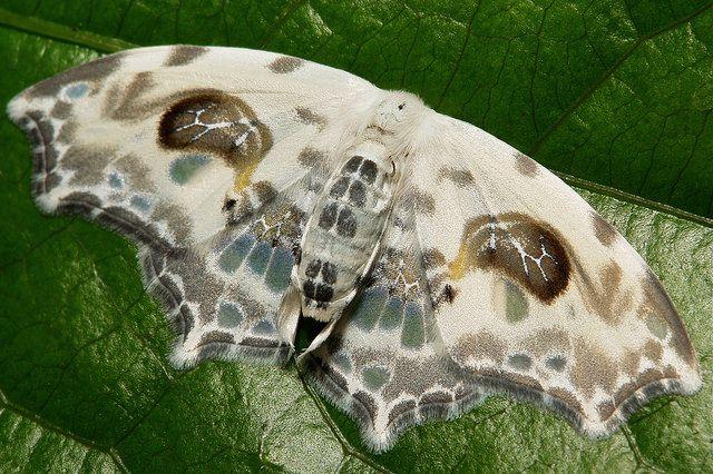 Drepanid Moth (Auzata cf. chinensis, Drepaninae, Drepanidae)