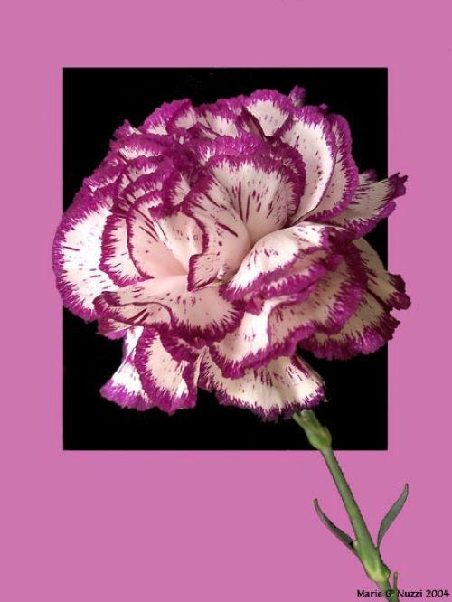 foto 's van paarse anjers resmi