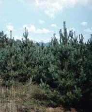 Сосна обыкновенная Внешний вид: Вечнозеленое дерево 20-30 (40) м высотой со сквозистой кроной и красновато-оранжевой в верхней части ствола корой. Молодые удлиненные побеги голые, на укороченных побегах по 2 хвоинки 4-7 см длиной. Продолжительность их жизни обычно 2-3