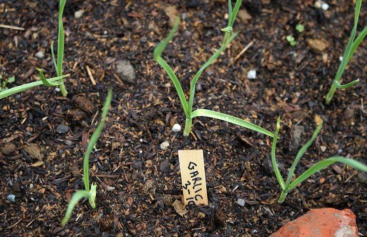 Cultivate The Best Soil For Garlic Garden Soil 400 x 300