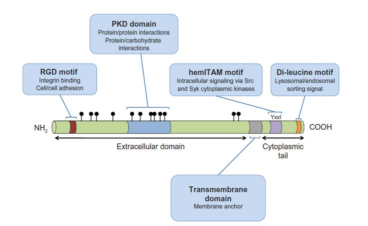 Figure 1 A schematic representation of GPNMB indicating the domains and motifs contributing to GPNMB function.