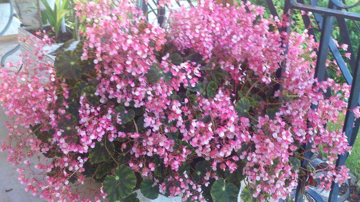 Βιγκόνια με πολύ μικρά ροζ λουλουδάκια !!! Άνοιξη 2016 !!!!