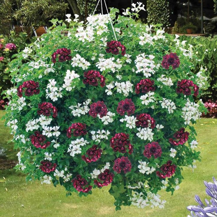 Best Flowers For Hanging Baskets Pictures