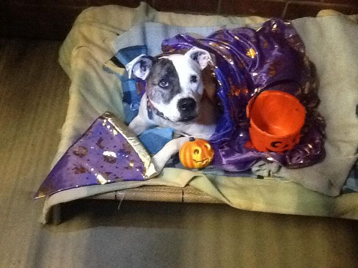 This is Suzie dressed in her Howloween costume! Suzie is available for adoption through The Animal Protection Society of WA. Toys are her favourite past time and she would love a new one :) #PETstockHowlOween