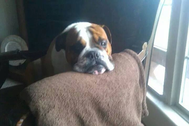 9/1/14 Lost dog alert in Strafford, MO area:  'This is Moe, he is a English Bulldog. Moe was last seen in Timothy Mountain Estates between Strafford and Northview, he has been missing since yesterday 8-31:'( If you see him please let us know. 417-859-5454'