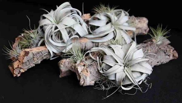 1000 Images About Lugplante On Pinterest Air Plants