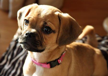 Puggle (So cute, I want one!)