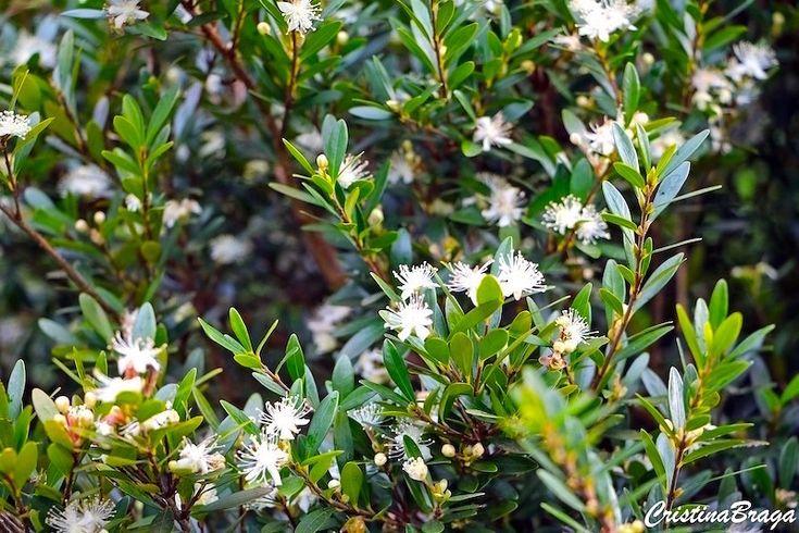 Cerejeira Anã – Eugenia mattosii - Arbusto com folhas simples, opostas e flores brancas ...