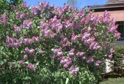 Fast Growing Shrubs for Privacy Hedges