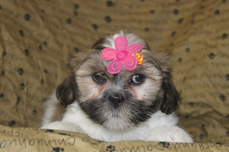 Lhasa Apso puppy for sale - here is a nice 7 week old lhasa apso puppy just posted at http://www.network34.com/dogsbreed/lhasa-apso-puppies-for-sale-pa-md-ny-nj-dc/