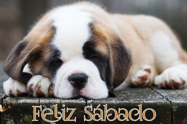 Feliz sabadoPuppies Pictures,  St Bernards, Saint Bernards Puppies, Adorable Puppies, Dogs Lovers, Saint Bernard Puppies, Beautiful Puppies, Big Dogs, Animal