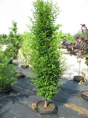Carpinus betulus 'Fastigiata'. Columnar European Hornbeam.