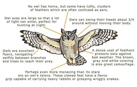 the anatomy of an owl An owl pellet can tell us a great deal about the diet and digestion of an owl and the structure of owl prey in this lesson, we'll cover all the.