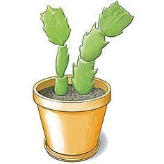 Le schlumbergera fleurit en hiver. Facile à bouturer, cette plante grasse est aussi du plus bel effet en suspension. En fleur à partir de décembre, cette pla...