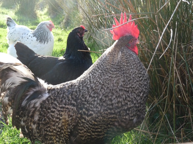 Hens for fresh eggs and cockerel to keep them from scrapping