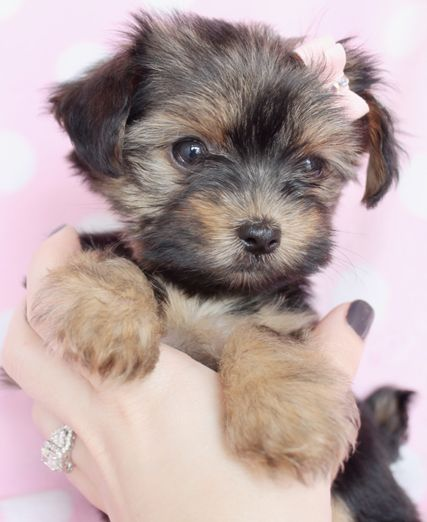Yorkie Puppies For Sale at TeaCups Puppies