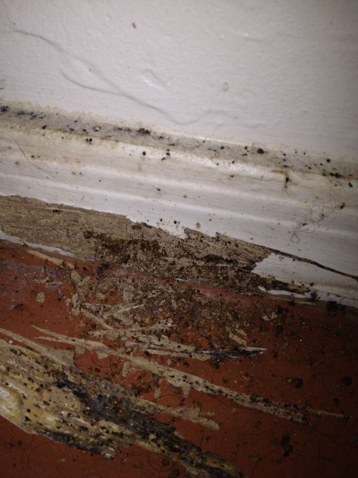 baseboard with bed bugs and termites Bed bugs