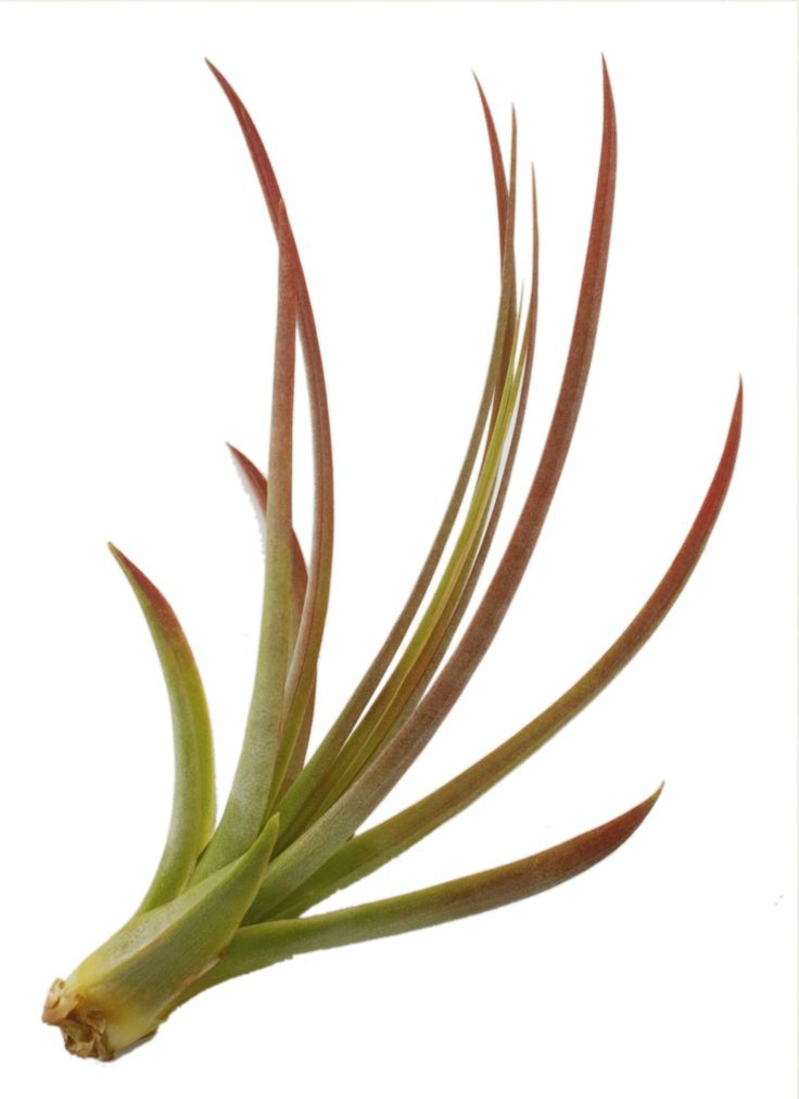 $3.99 USD    This impressive variety of Air Plant is known for its abundance of color and the way that it grows outward with sweeping leaves.