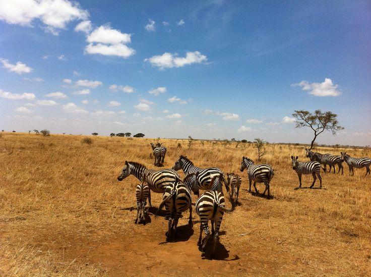 African wildlife,zebras