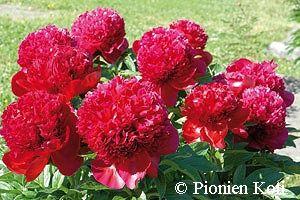 Jalopioni - Paeonia Lactiflora-ryhmä 'Red Charm'