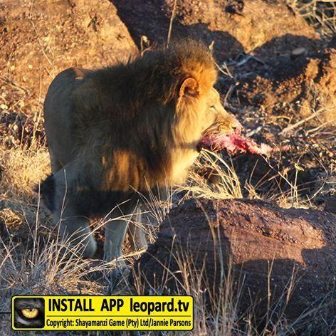 Beautiful photos of Shumba (male lion) and Shakira (female lion) with Kiara, Nala and Simba (cubs) #leopardtv #lions #TGIF