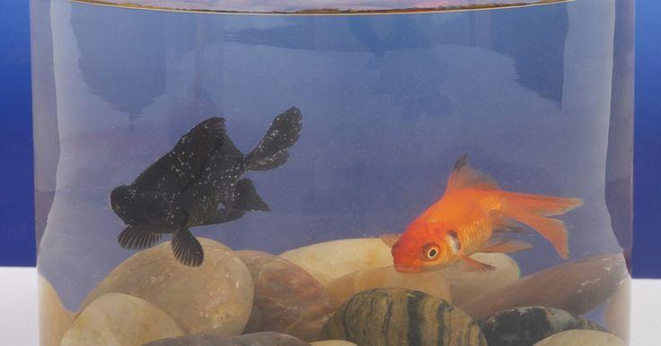 """¿Qué tipo de agua se usa para un pez Betta?. """"Betta splendens"""" es una de las especies más populares en el comercio de acuarios en el mundo occidental. Conocidos por sus colores brillantes y aletas largas y sueltas, los peces betta son bastante fáciles de cuidar, pero los aficionados novatos a veces se confunden sobre qué tipo de agua usar. Como es el caso en lo que se refiere a los peces de ..."""