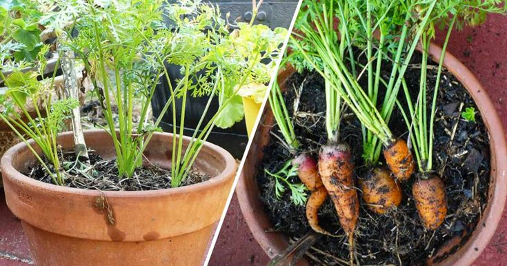Find out why carrots actually grow better in containers than in your backyard garden!