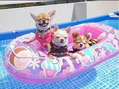 Chihuahuas livin large